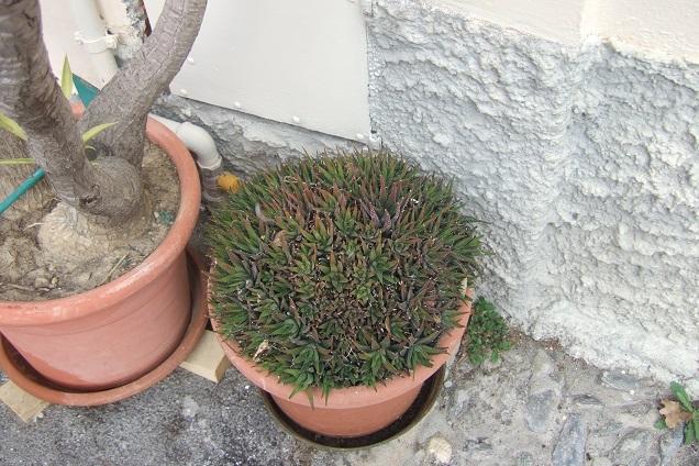 Haworthia attenuata var. radula Dscf2119