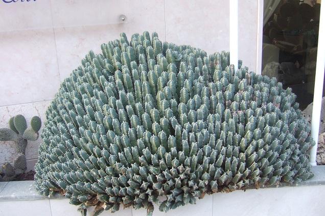 Euphorbia resinifera - Page 2 Dscf2124