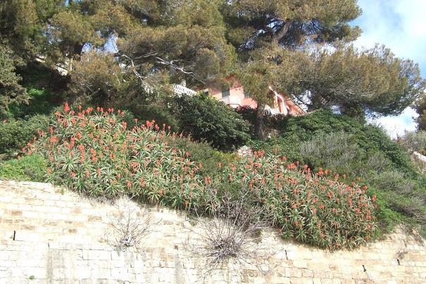 Aloe arborescens Dscf2138