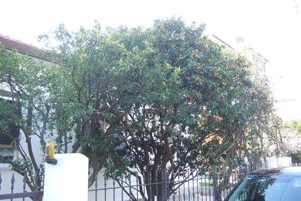 Citrus japonica - kumquat Dscf2140