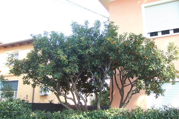 Citrus japonica - kumquat Dscf2141
