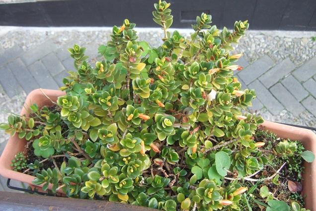 Nematanthus strigillosus (= Hypocyrta glabra) - plante poisson rouge Dscf2146