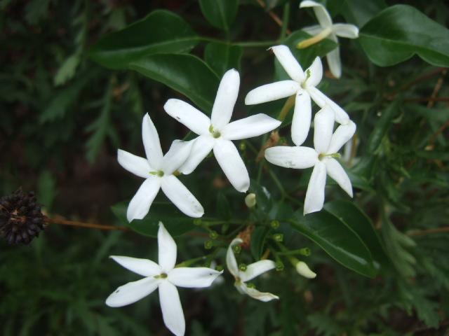 Jasminum azoricum - jasmin des Açores Dscf2150