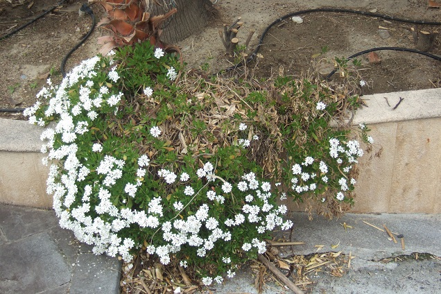 Iberis semperflorens - ibéris toujours fleuri Dscf2210