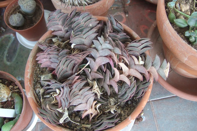 Callisia navicularis (= Tradescantia navicularis) Dscf2212