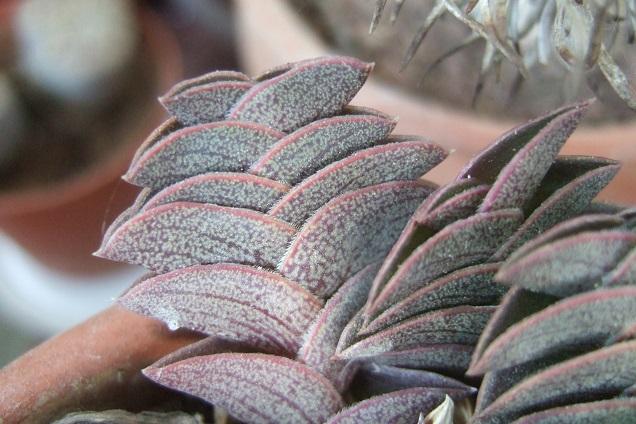 Callisia navicularis (= Tradescantia navicularis) Dscf2213