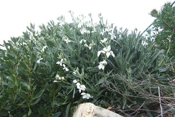 Matthiola incana - giroflée des jardins Dscf2218