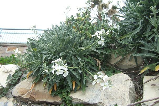 Matthiola incana - giroflée des jardins Dscf2219