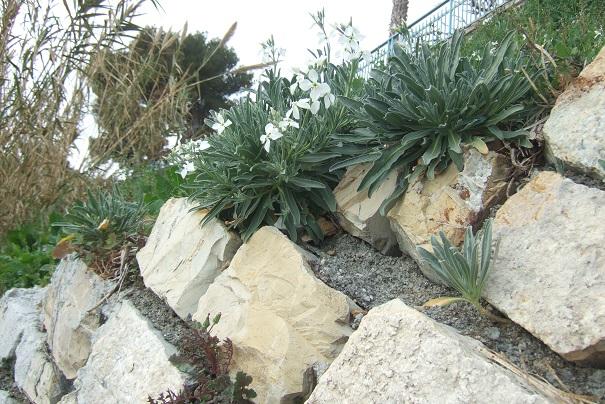 Matthiola incana - giroflée des jardins Dscf2220