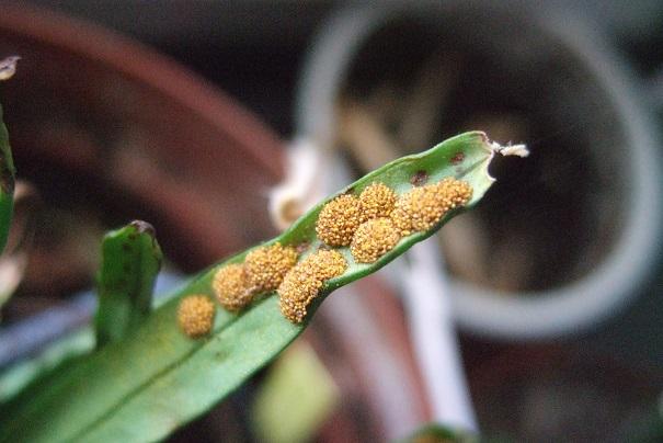 Lepisorus thunbergianus  Dscf2232
