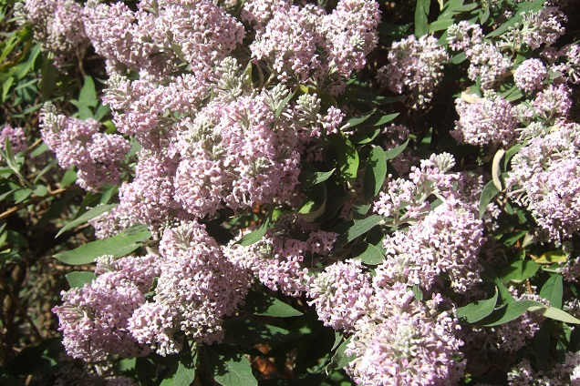 Buddleja officinalis Dscf2243