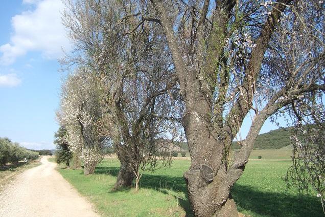 Prunus dulcis - amandier - Page 2 Dscf2317