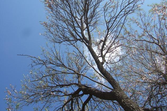 Prunus dulcis - amandier - Page 2 Dscf2318