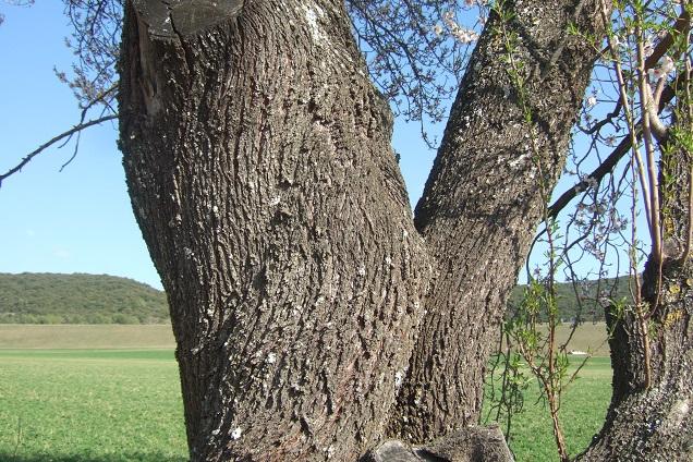 Prunus dulcis - amandier - Page 2 Dscf2319