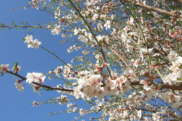Prunus dulcis - amandier - Page 2 Dscf2320