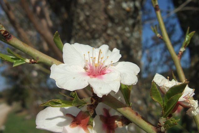 Prunus dulcis - amandier - Page 2 Dscf2321