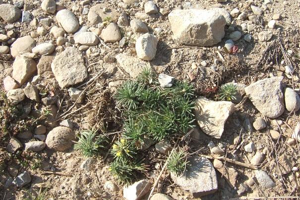 Ajuga chamaepitys - bugle petit pin Dscf2335
