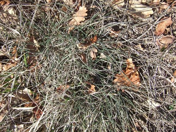 Aphyllanthe monspeliensis Dscf2360