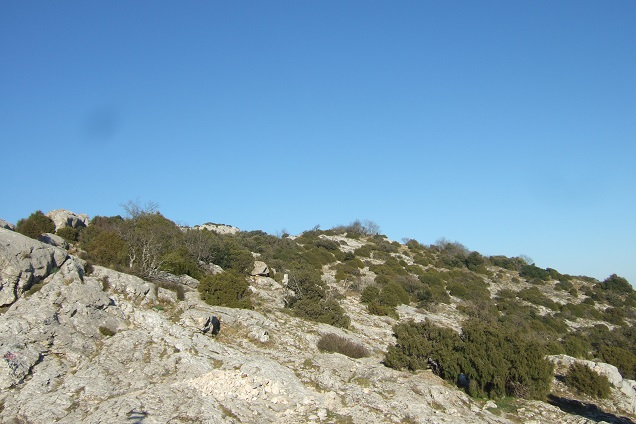Juniperus phoenicea - genévrier de Phénicie Dscf2420