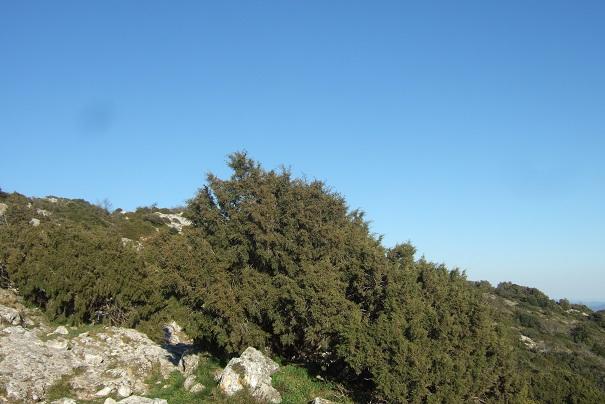 Juniperus phoenicea - genévrier de Phénicie Dscf2421