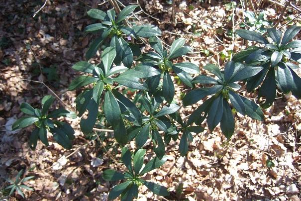 Daphne laureola - daphné lauréole, laurier des bois Dscf2425