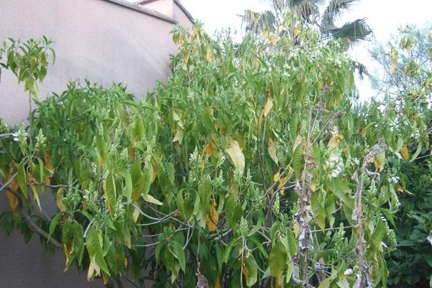 Justicia adhatoda (= Adhatoda vasica) - carmentine en arbre Dscf2428