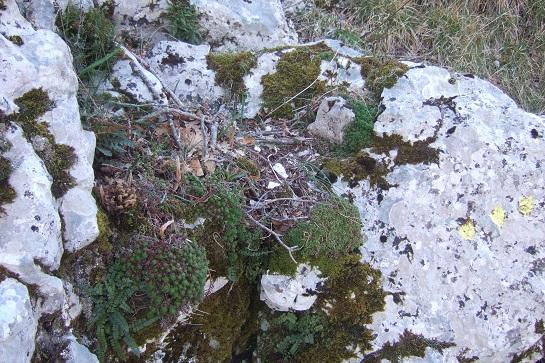 Saxifraga fragosoi (= Saxifraga continentalis) - saxifrage continentale Dscf2432