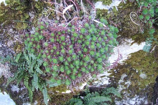 Saxifraga fragosoi (= Saxifraga continentalis) - saxifrage continentale Dscf2433