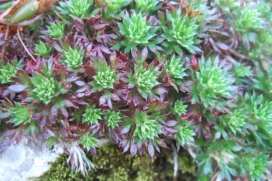 Saxifraga fragosoi (= Saxifraga continentalis) - saxifrage continentale Dscf2435