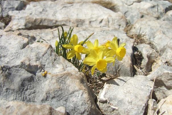 Narcissus assoanus - narcisse d'Asso Dscf2445