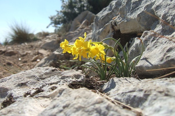 Narcissus assoanus - narcisse d'Asso Dscf2448