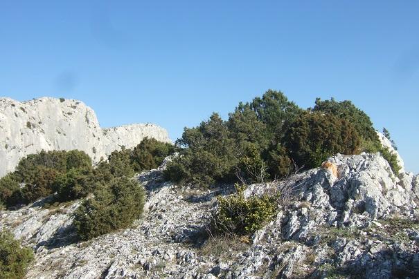Juniperus phoenicea - genévrier de Phénicie Dscf2518