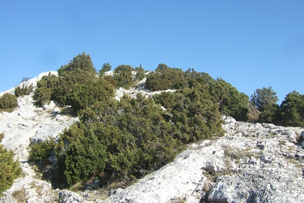 Juniperus phoenicea - genévrier de Phénicie Dscf2519
