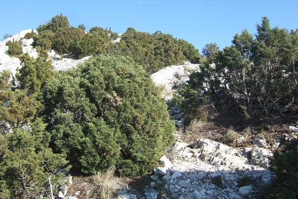 Juniperus phoenicea - genévrier de Phénicie Dscf2520
