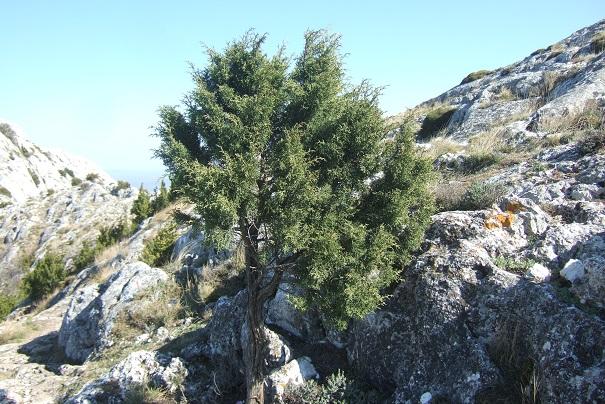 Juniperus phoenicea - genévrier de Phénicie Dscf2522