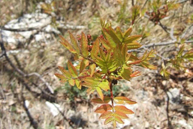 Pistacia terebinthus - pistachier térébinthe - Page 2 Dscf2525