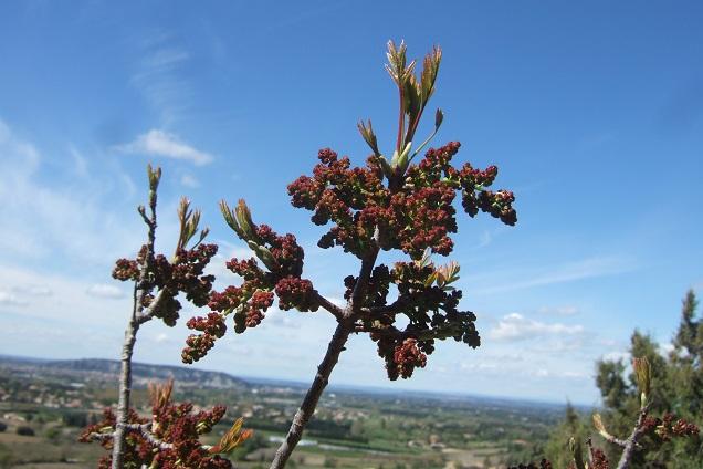 Pistacia terebinthus - pistachier térébinthe - Page 2 Dscf2527