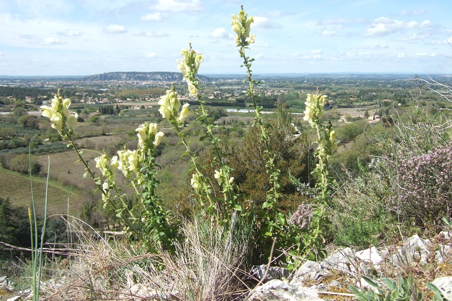 Antirrhinum majus subsp. latifolium - muflier à larges feuilles Dscf2528