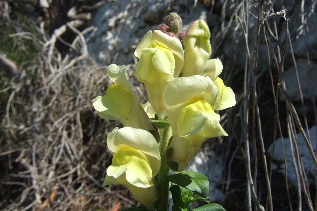 Antirrhinum majus subsp. latifolium - muflier à larges feuilles Dscf2529