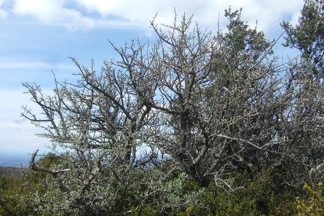 Pyrus spinosa - poirier à feuilles d'amandier Dscf2611