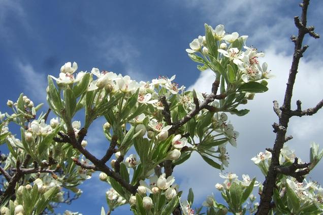 Pyrus spinosa - poirier à feuilles d'amandier Dscf2612