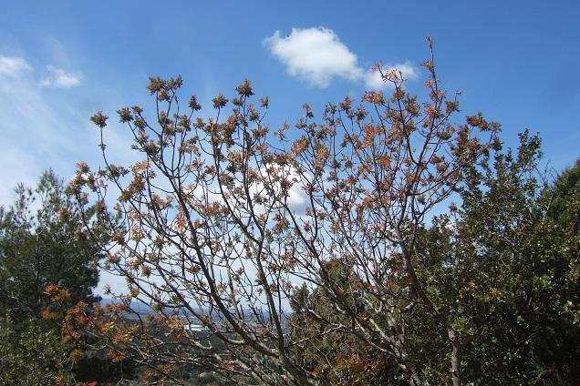 Pistacia terebinthus - pistachier térébinthe - Page 2 Dscf2615