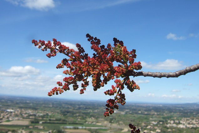 Pistacia terebinthus - pistachier térébinthe - Page 2 Dscf2616