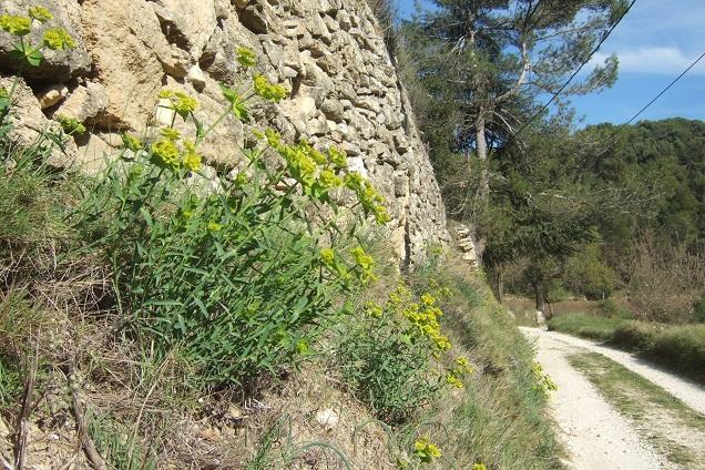 Euphorbia serrata - euphorbe à feuilles en scie Dscf2617