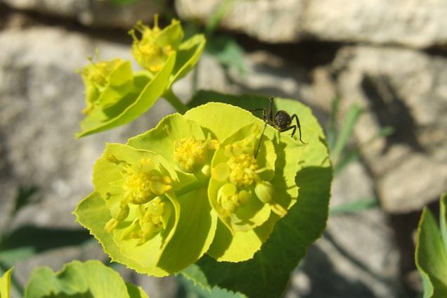 Euphorbia serrata - euphorbe à feuilles en scie Dscf2620