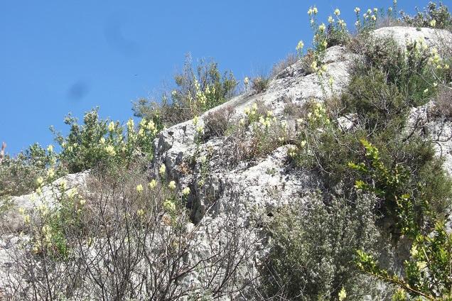 Antirrhinum majus subsp. latifolium - muflier à larges feuilles Dscf2622