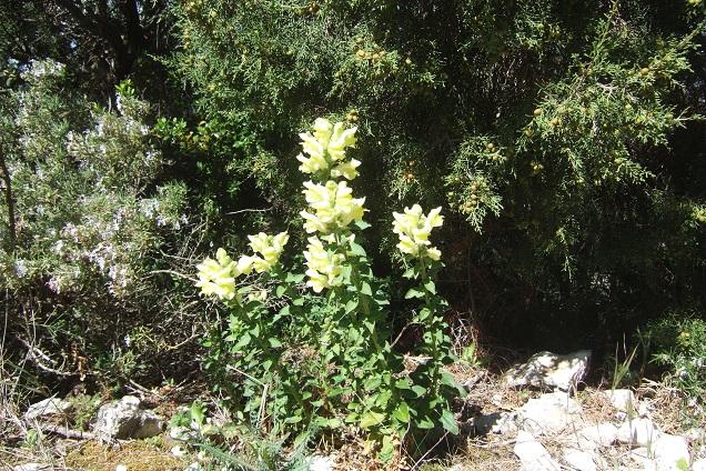 Antirrhinum majus subsp. latifolium - muflier à larges feuilles Dscf2623