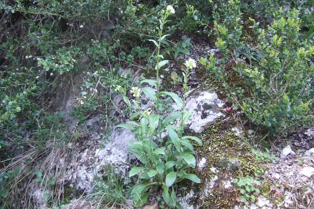 Pseudoturritis turrita (= Arabis turrita) - arabette tourette Dscf2629