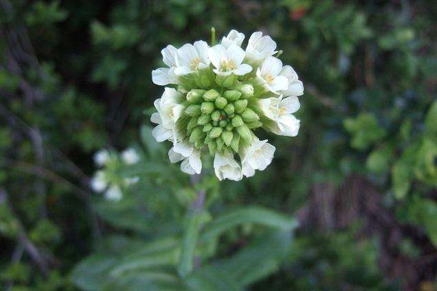 Pseudoturritis turrita (= Arabis turrita) - arabette tourette Dscf2631