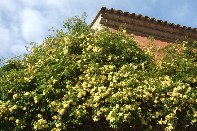 Rosa banksiae 'Lutea Plena' Dscf2636